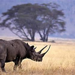 Rhino hunting permit sold for millions