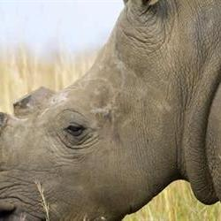 Calls for high level investigation into stolen rhino horns