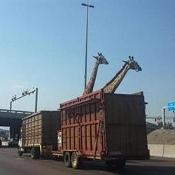 Giraffe dead after its head hit overhead bridge