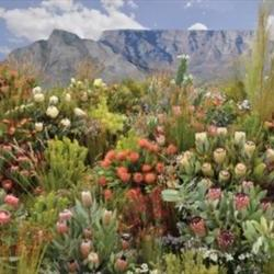 Rare species of Fynbos discovered