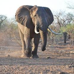 'African elephant numbers likely to continue to decline'