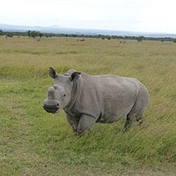 Last known male northern white rhino under 24-hour guard