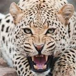 Child survives leopard attack in his home