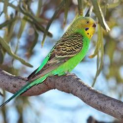 570+ show budgies coming to Bloemfontein this weekend
