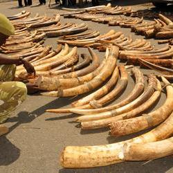 2 tons of elephant tusks seized in Vietnam