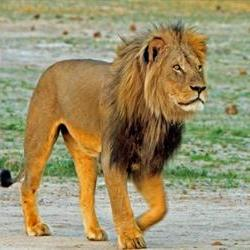 Captive Zim lioness killed by other lions