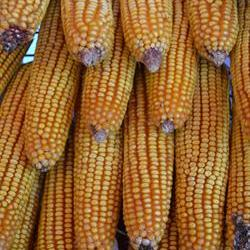 Gosa President comments on impending maize imports