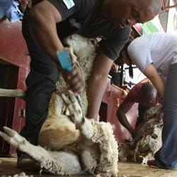 Wool flies in sheep shearing championships