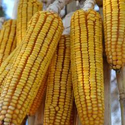 Drought tolerant maize trait available commercially next year