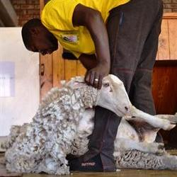 Wool prices reach historic high