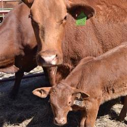 Cattle 'futures' in the pipeline