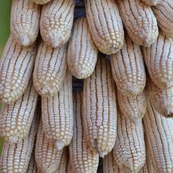 White maize expected to reach record high by next week