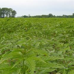 ARC researcher excited about potential of hemp