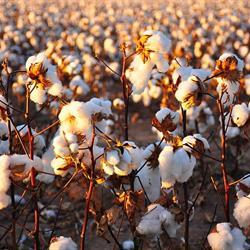 Producers cottoning on to opportunities