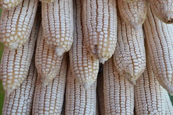 "Reports of US maize import clearance are ""deceptive"" 