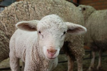 FS sheep farmers lose billions to stock theft | Agriculture News Article