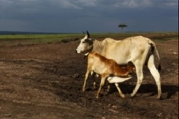 Livestock theft in the Eastern Free State on the rise | News Article