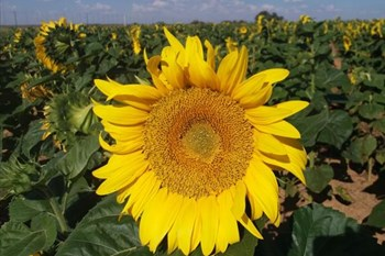 Sunflower stocks way higher than last year | Agriculture News Article