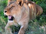 Banning of captured lion breeding could cost SA | News Article