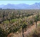 'Devastating' black frost hits Cape vineyards | News Article