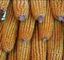 Producers intend planting much more maize this year  | News Article
