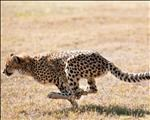 World Cheetah Day - Spare a thought for the world's fastest cat | News Article