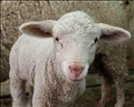 Protozoa could be behind deaths of thousands of calves and lambs | News Article
