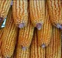 Maize imports will need to be ramped up   News Article
