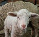FS sheep farmers lose billions to stock theft | News Article