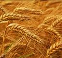 Grain SA gets court order for wheat tariff implementation | News Article
