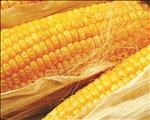 Maize estimate slightly up in latest CEC report | News Article