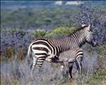 Cape Mountain Zebra success story | News Article