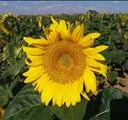 Sunflower stocks way higher than last year | News Article