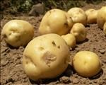 Tomatoes, potatoes in short supply in Botswana | News Article