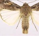 Trapping system for armyworm in KZN | News Article