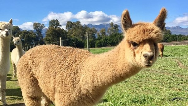 Alpacas are perfect to guard herds | News Article