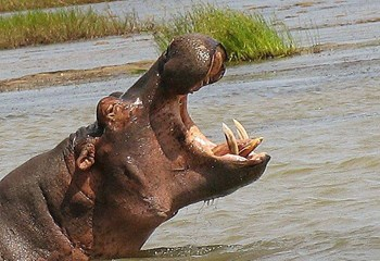 Limpopo man killed in hippo attack | OFM