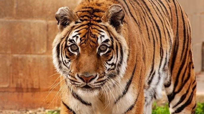 World's oldest tiger confirmed by Guinness World Records   News Article