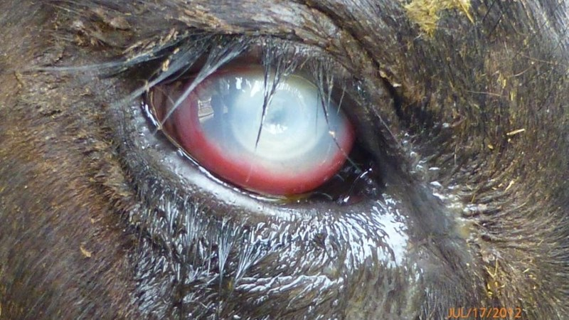Pink eye in livestock | News Article