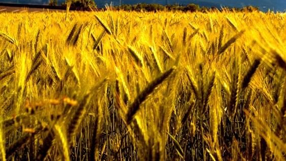 #Agbiz: A good season for SA's winter crops | News Article