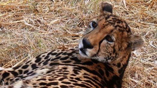 Motorist arrested after running over a cheetah in Kruger National Park   News Article