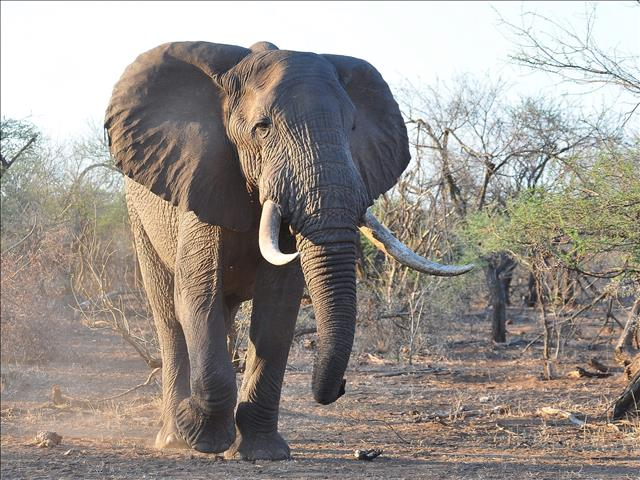 South Africa and allies block upgraded protection for elephants