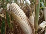 White maize drops to R1700 per ton   News Article