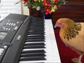 Saturday Express: Amazing piano solo done by a chicken. | Blog Post
