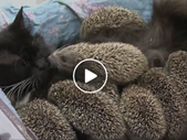 Saturday Express: Cat mothers 8 orphaned hedgehogs | Blog Post