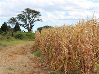 Agbiz predicts comfortable maize supplies | News Article