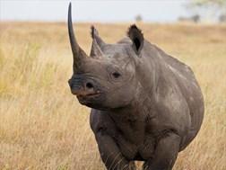 Hawks nab rhino poaching syndicate  | News Article