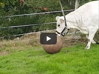 Saturday Express: Have you ever seen a cow play fetch!? | Blog Post