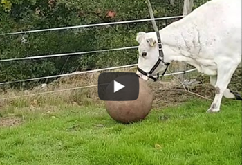 Saturday Express: Have you ever seen a cow play fetch!? | News Article