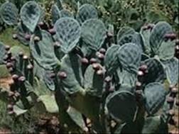 Turksvy-plante is voorwaar geskik vir veevoerdoeleindes in droogtegebiede | News Article